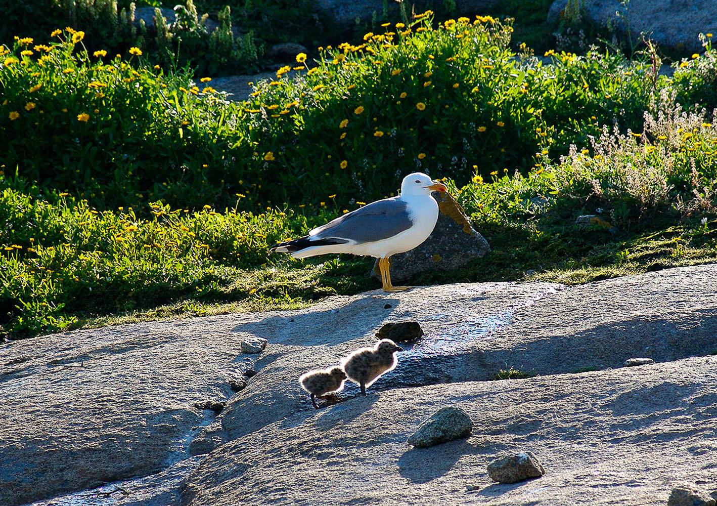 Gaviaota con dos crias en la Isla de Sálvora